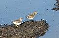 Least sandpiper, Calidris minutilla, at Alviso Marina County Park, Santa Clara, California, USA (31005655225).jpg