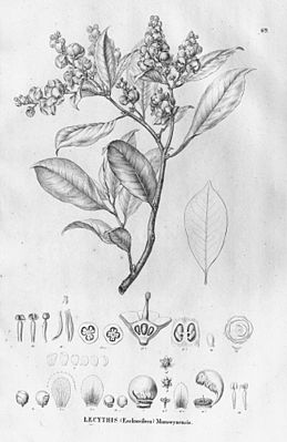 Lecythis chartacea, Illustration
