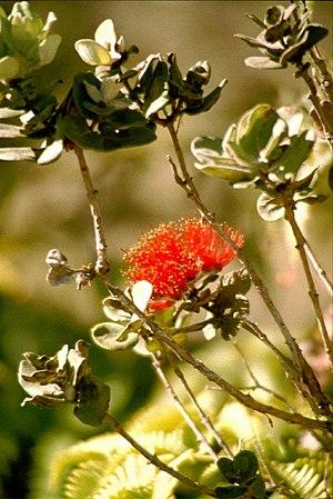 Laka - Red lehua blossom (Metrosideros polymorpha)