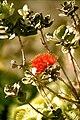Lehua blossoms hawaii 02.jpg