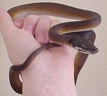 Bothrochilus - Wikipedia
