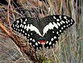 Lemoenvlinder - Citrus Swallowtail (Papilio demodocus).jpg