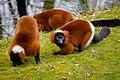 Lemur (26992206768).jpg