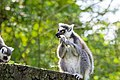 Lemur (36475987584).jpg
