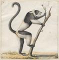 Lemur macaco - 1829-1867 - Print - Iconographia Zoologica - Special Collections University of Amsterdam - UBA01 IZ19700012.tif