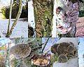 Lenzitus betulinus (Birch Mazegill or Multicolor Gill Polypore, D= Birkentramete oder Birken-Blätterporling, NL= Fopelfenbankje) and several other mushrooms at a Birch at Lijnbaan Schaarsbergen in the snow^ In the midd - panoramio.jpg