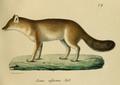 Leopold v. Schrenck - Cuon alpinus.png
