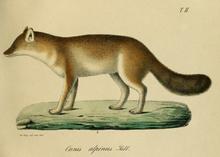 Illustrazione (1859) di Leopold von Schrenck, uno delle prime rappresentazioni affidabili della specie, basato su una pelliccia comprata nel villaggio di Dšare presso l'Amur.[24]