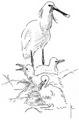 Lepelaar Platalea leucorodia Jos Zwarts 6.tif