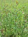 Lepidium perfoliatum sl16.jpg
