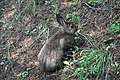Lepus americanus 5646.JPG