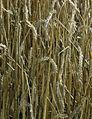 Les Plantes Cultivades. Cereals. Imatge 278.jpg
