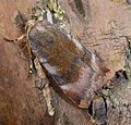 Lesser Broad-bordered Yellow Underwing. Noctua janthe - Flickr - gailhampshire (2).jpg