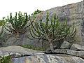 Lesser Candelabra-trees (Euphorbia cooperi) (12715493405).jpg