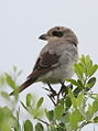 Lesser Grey Shrike, Lanius minor - juvenile - at Kruger Park (13899843403).jpg