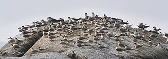 Lesser crested tern - Lesser crested terns at Muzhappilangad beach