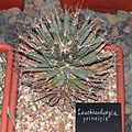 Leuchtenbergia principis20140104 078.jpg