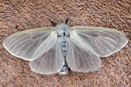 Leucoma salicis, Lodz(Poland)06(js).jpg
