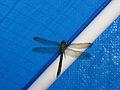Libelle an Nordsee.JPG