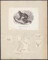 Lichanotus indri - 1700-1880 - Print - Iconographia Zoologica - Special Collections University of Amsterdam - UBA01 IZ19700163.tif
