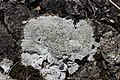 Lichen (42658480910).jpg