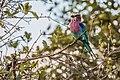 Lilac Breasted Roller - Tarangire National Park - Tanzania-2 (34980922941).jpg