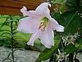 Lilium japonicum (1).jpg