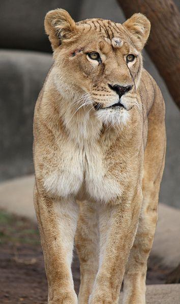 File:Lioness2010 2.jpg