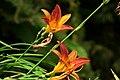 Lirio de un día - Azucena (Hemerocallis sp.) (14414703584).jpg