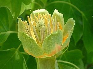 Mesangiospermae - Flower of Liriodendron tulipifera, a Mesangiosperm
