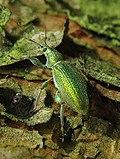 Listohlod zlatozelený (Phyllobius argentatus) IMG 4049.JPG