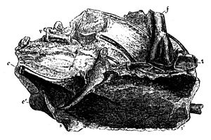 Lithornithidae - Woodcut of the Lithornis vulturinus holotype