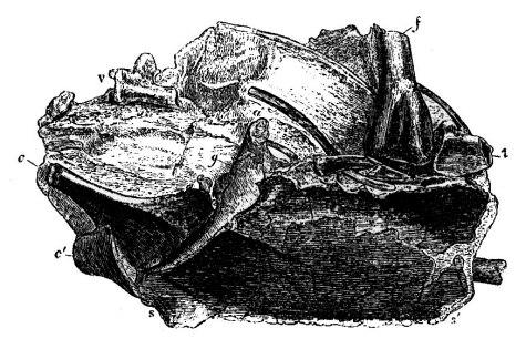 Lithornis owen1846