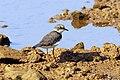 Little Ringed Plover (23299149044).jpg