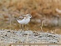 Little Stint (Calidris minuta) (43999265000).jpg