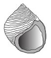 Littorina saxatilis shell.png