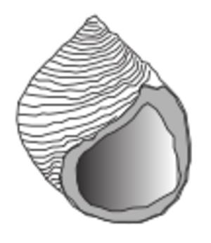 Littorina saxatilis - Image: Littorina saxatilis shell