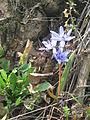 Livadske biljke 5.JPG