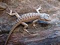 Lizard Zion NP USA.jpg