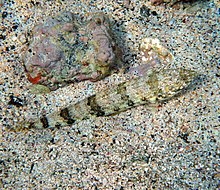 Lizard fish Synodus binotatus Schultz 1953 in Kona Hawaii.jpg