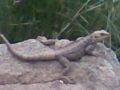 Lizard in Darband.png
