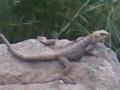 Lizard in Darband.png