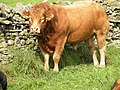 Load of bull next to the Pennine way Middleton-in-Teesdale - geograph.org.uk - 1522870.jpg