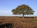 Lone tree north of the Islands Thorns Inclosure, New Forest - geograph.org.uk - 81175.jpg