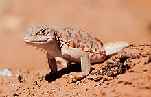 Long-nosed Leopard Lizard (8043739603) (cropped).jpg