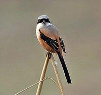Long-tailed Shrike (Lanius schach- erythronotus race) in Delhi W2 Pix 051.jpg