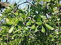 Loranthus europaeus sl6.jpg