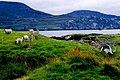 Loughros Peninsula - Sheep grazing at end of road - geograph.org.uk - 1353062.jpg