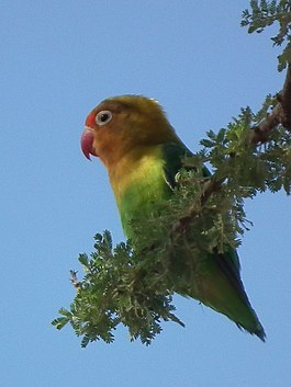 Lovebirds in Tanzania 3496 cropped Nevit.jpg