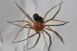 Recluse spider Group of venoumous spiders